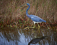 Tricolored Heron. Black Point Wildlife Drive, Merritt Island National Wildlife Refuge. Image taken with a Nikon D4 camera and 300mm f/2.8 VR lens (ISO 100, 300 mm, f/4, 1/320 sec).