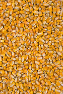 Stock shots of field corn seeds...Photo stock for Ethanol in the Midwest.  Photo by Chris Machian