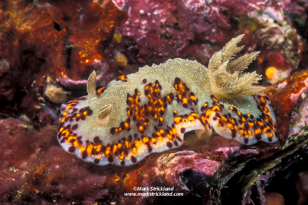 This attractive nudibranch, Chromodoris naiki, is rarely encountered in the Andaman Sea. Mergui Archipelago, Myanmar/Burma, Andaman Sea. filename: nb172