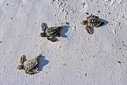 Loggerhead Hatchlings Heading To Ocean