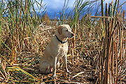 Ten Year Old Yellow Labrador Retriever During a Waterfowl Hunt