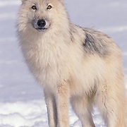 Arctic Wolf, (Canis lupus tundriarum) Adult. Winter. Montana. Captive Animal.