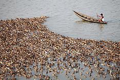 Bangladesh duck farming, 23 Oct. 2016