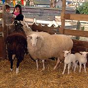 NLD/Baarn/20060124 - 2 lammetjes te vroeg geboren in de kinderboerderij Canton Baarn