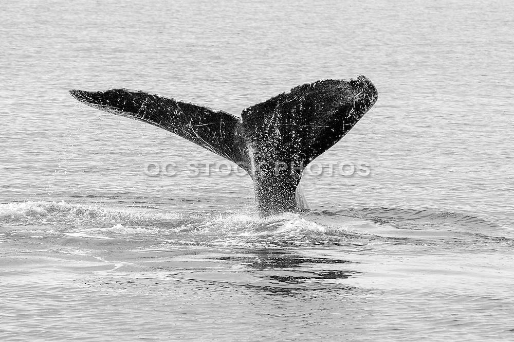Alaska Wildlife Stock Photo in Black and White