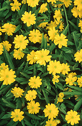 Anemone ranunculoides 'Pleniflora' AGM syn 'Flore Pleno'. Buttercup anemone, Yellow Wood anemone