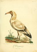 L'Ourigourap Vulture Bird of Prey from the Book Histoire naturelle des oiseaux d'Afrique [Natural History of birds of Africa] by Le Vaillant, François, 1753-1824; Publish in Paris by Chez J.J. Fuchs, libraire .1799