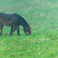 A pair of Kandachime horses grazing in the rain on a spring day in northen Japan's Shimokita peninsula