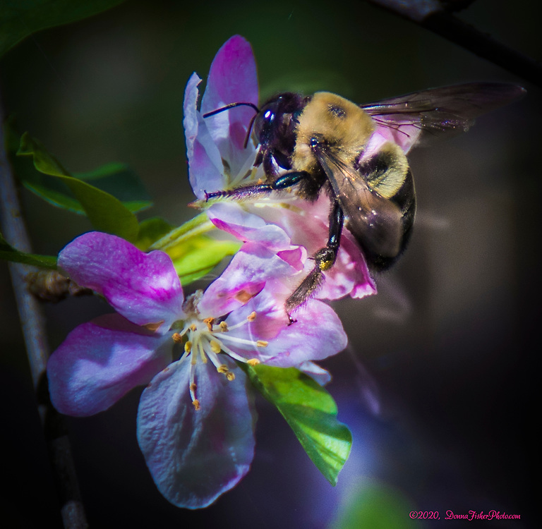 Bumblebees are attracted to a flowering crabapple tree in Whitehall Township, Lehigh County, Pennsylvania in May, 2020.<br /> - Photography by Donna Fisher<br /> - ©2020 - Donna Fisher Photography, LLC                      - donnafisherphoto.com