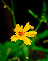 AeroGarden Farm 04-Left. Coreopsis Flower. Image taken with a Fuji X-T3 camera and 80 mm f/2.8 macro lens (ISO 200, 80 mm, f/8, 1/60 sec)