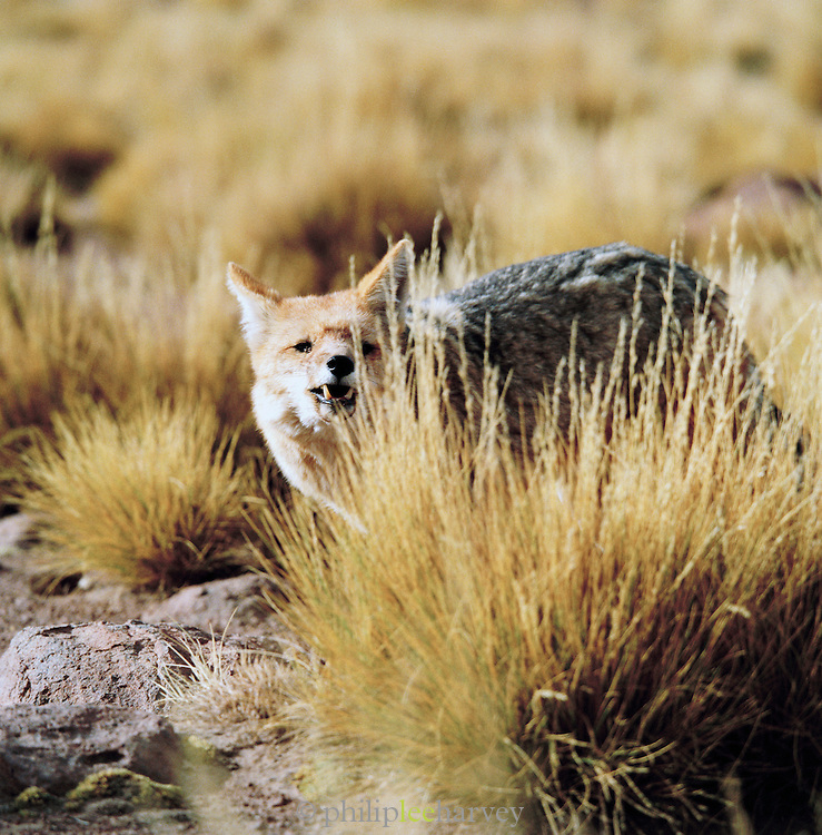 A close view of a grey fox in the Atacama Desert, Chile