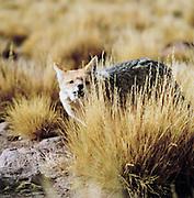 A close view of a grey fox in the Atacama Desert, Chile