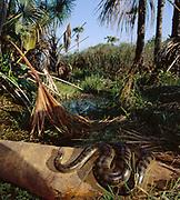 Anaconda Sunbathing<br />Eunectes murinus<br />Cerrado Habitat.  Piaui State.  BRAZIL  South America