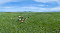 Aerial view of wild horses at Pre-Ural Steppe, Orenburg Nature Reserve, Russia