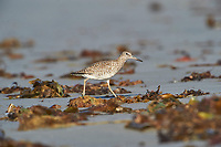Willet (Catoptrophorus semipalmatus) foraging on beach Cherry Beach, Nova Scotia, Canada