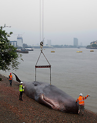 © Licensed to London News Pictures. 20/06/2013. London, UK.   A life sized, 17 metre, sperm whale is seen being craned into position on the banks of the Thames in Greenwich London today (20/06/2013).  The art installation, attended to by members of the 'Captain Boomer Collective' in collaboration with the 'Zephyr Wildlife Reconstruction' as part of the Greenwich and Docklands International Festival, was 'beached' by crane today and will remain in place until the weekend where it will be on display on the lawns of the Royal Naval College where it will become part of the Greenwich Fair. Photo credit: Matt Cetti-Roberts/LNP