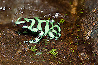A green and black poison dart frog (Dendrobates auratus) in Costa Rica.