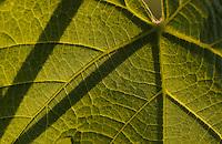 Wine leaf (Vitis vinifera)<br /> Aggius, Sardinia, Italy