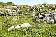 Wildflowers in flower, Lowland Point, Lizard Peninsula, Cornwall, England, UK