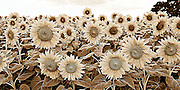 Sepia rendering of a Field of Sunflowers