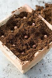 Sowing borlotti beans into terracotta pots