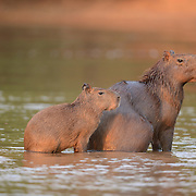 Capybara (Hydrochaeris hydrochaeris) Largest rodent in the world. Mother with young going into river. Pantanal. Brazil.
