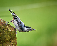 White-bellied Nuthatch. Image taken with a Nikon D5 camera and 600 mm f/4 VR lens (ISO 1600, 600 mm, f/5.6, 1/320 sec)