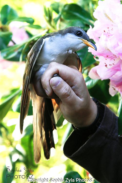 Yellow-billed Cuckoo Manomet Bird Banding