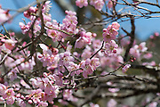 Cherry Blossoms. Photographed in the Kibune Shrine, Sakyō-ku, Kyoto, Japan