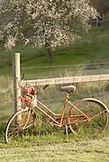 Old Bike and Apple Tree