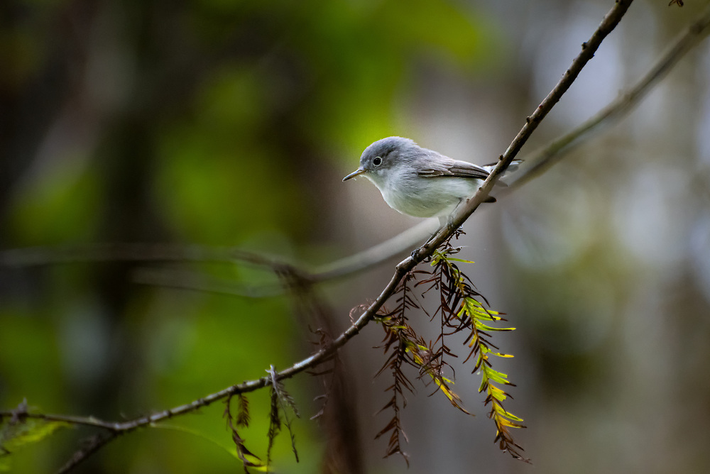 One of the smallest of the songbirds in the eastern half of North America, the highly charismatic and extremely voracious blue-gray gnatcatcher is also one of the hardest to see clearly. The fly at seemly reckless speeds through thick foliage, and rarely stop for more than a second or two before launching into the air for another round of acrobatic avian maneuvers fro tiny flying insects. This one was one of many seen perching among the bald cypress trees just log enough to swallow yet another insect before going off in search for the next victim in Southwest Florida's Corkscrew Swamp near Naples.