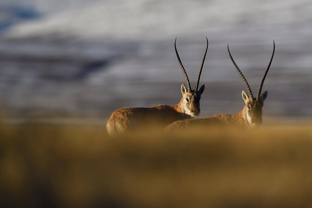 Tibetan antelope or Chiru (Pantholops hodgsonii) looking at camera, Keke Xili, Changtang, Tibetan Plateau, Qinghai, China