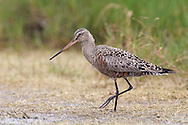 Hudsonian Godwit - Limosa haemastica - adult in transition to breeding