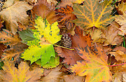 Autumn leaves and pine cone on woodland floor, England