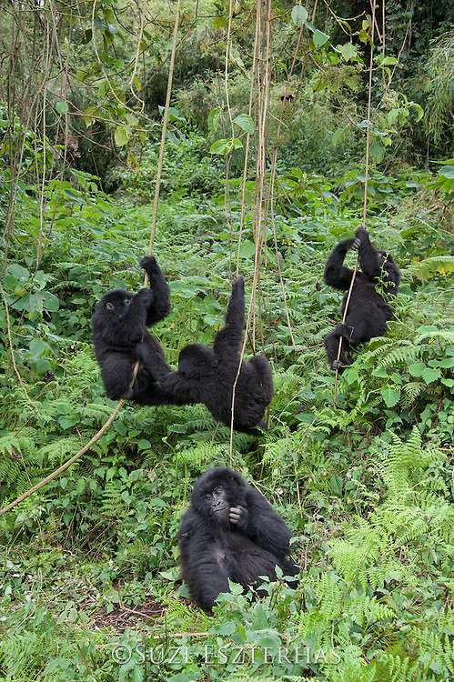 Mountain Gorilla<br /> Gorilla gorilla beringei<br /> Juveniles playing<br /> Parc National des Volcans, Rwanda<br /> *Endangered species