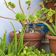 Cat sleeping in bough-pot in Crete