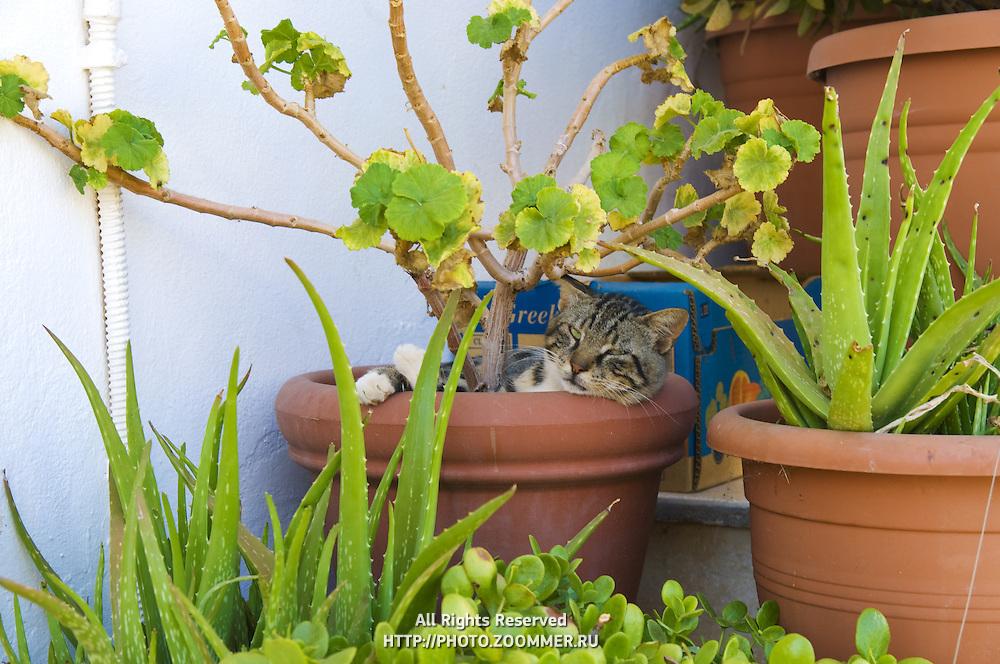 Cat sleeping in bough-pot in Crete