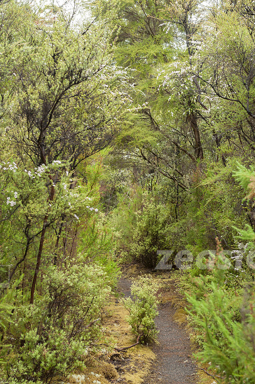 Forest on Lake Tarawera´s eastern shore side. The Bush here is a moss and lichen wonderland.