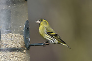 Siskin - Carduelis spinus - male at garden feeder
