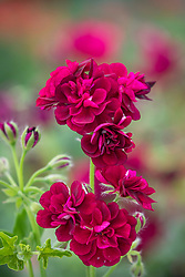 Pelargonium Tommy syn. 'Pactommy'