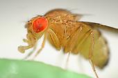 Drosophila | Fruchtfliege
