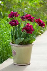Tulipa 'Antraciet' in green pot