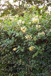 Honeysuckle grown over hedge - Lonicera