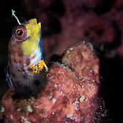 Normally pale in color, this male Laiphognathus multimaculatus Spotty Blenny is displaying the characteristic yellow, blue and orange colors and patterns used to court females during breeding season. When an interested female comes close, he will perform a dance in front of his burrow to entice her to deposit eggs inside.