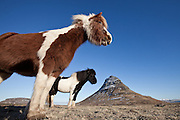 Icelandic horses in Grundarfjörður, Snæfellsnes, west Iceland. Mountain Kirkjufell in background.
