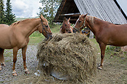 Three horses feed on fresh hay on a small Polish farm, on 20th September 2019, in Biala Woda, Jaworki, near Szczawnica, Malopolska, Poland.