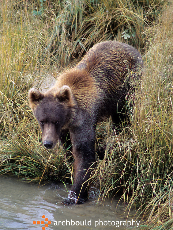 Grizzly bear at river edge