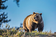 A female grizzly Bear on a Wyoming ridge in the Bridger Teton National Wilderness.<br /> <br /> Sadly soon this grizzly may be a rug instead of standing proud on a Wyoming Mountain.