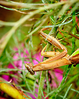 Praying Mantis laying eggs. Image taken with a Fuji X-H1 camera and 80 mm f/2.8 macro lens and 1.4x teleconverter (ISO 1250, 112 mm, f/8, 1/70 sec).