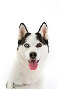 Ladies Kennel Association<br /> 2008 Championships<br /> Siberian Husky (Reiver)<br /> Owner Jenna Cooper